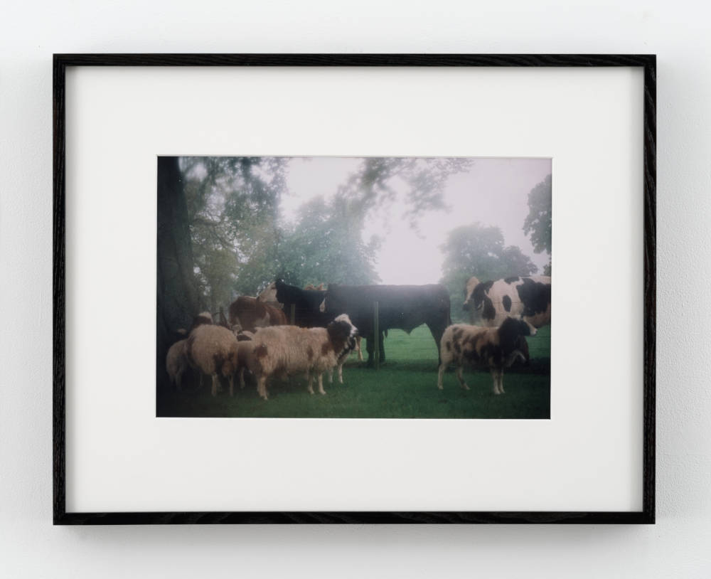 cows in the english mist