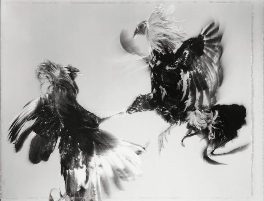 Game Fowl (229-43), Maryland, 1988