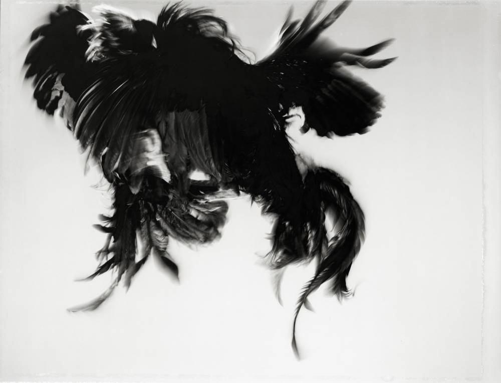 Game Fowl (98-45), Maryland, 1988