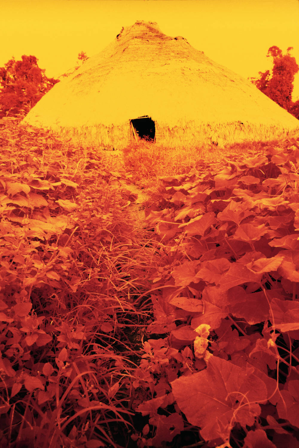 Collective house surrounded by sweet-potato leaves, infrared film, Catrimani, Roraima