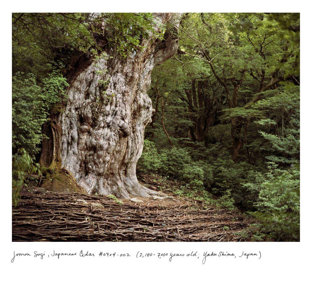 Jomon Sugi, Japanese Cedar #0704-002 (2,180–7,000 years old); Yakushima, Japan
