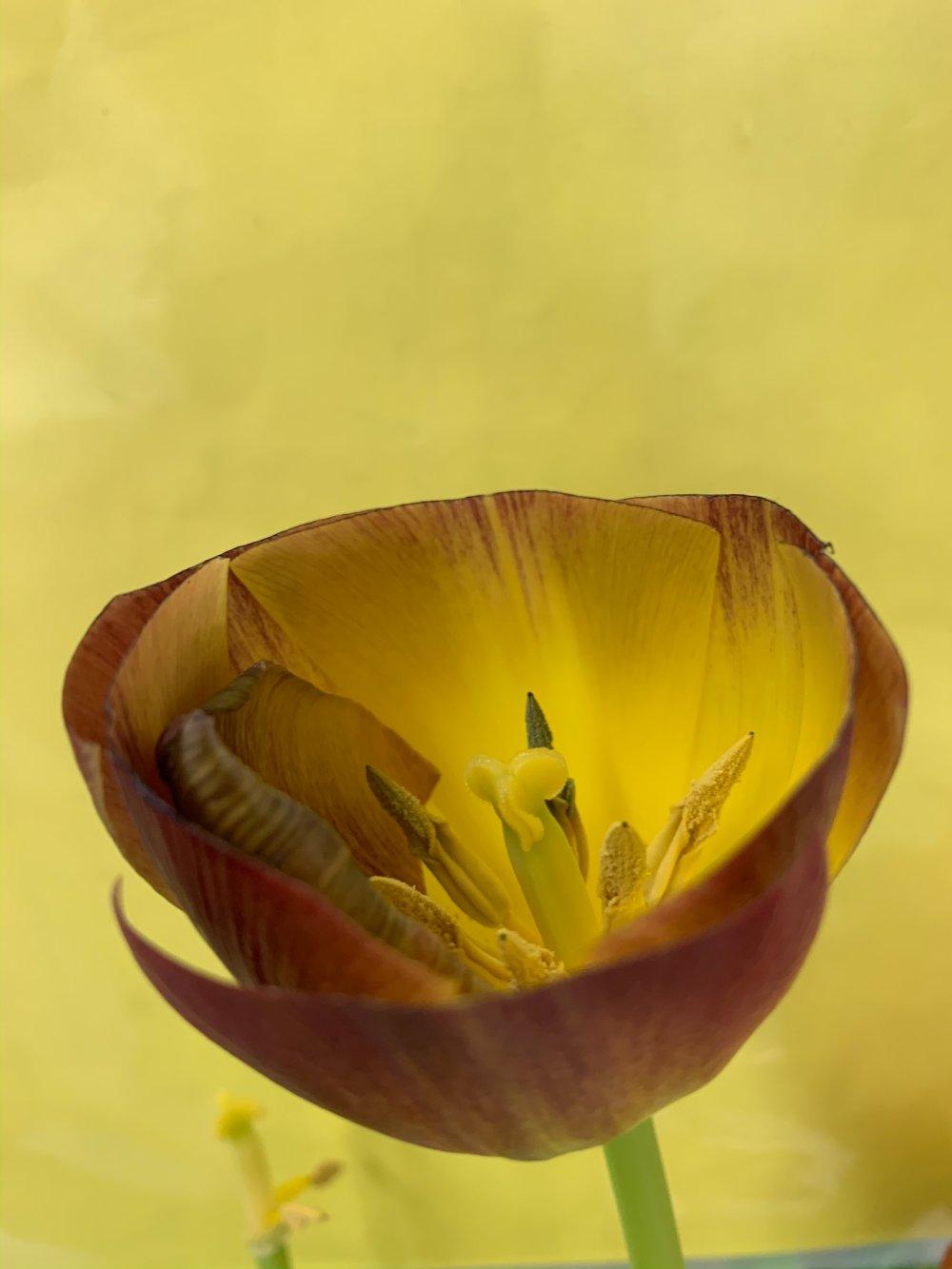 Clipped Tulip