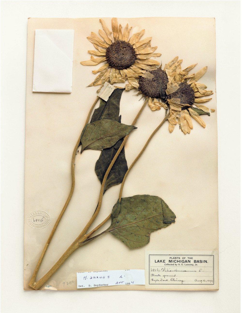 Field Museum, Helianthus Annuus, 1899