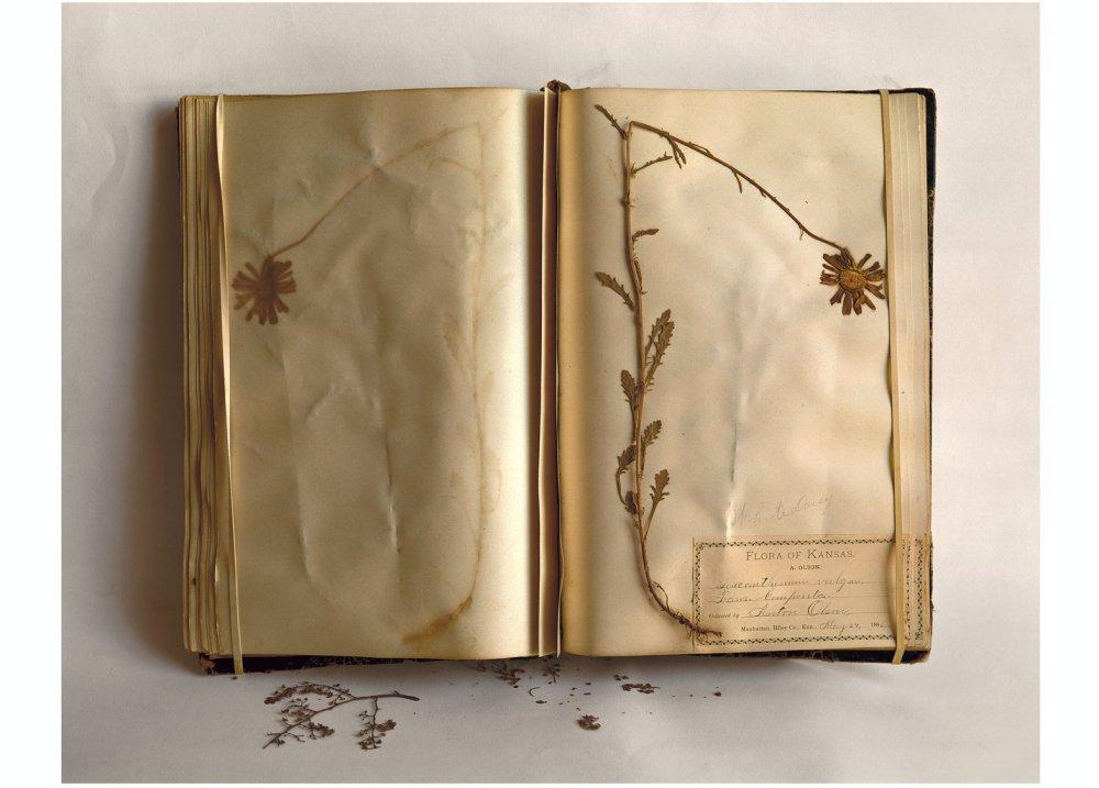 Field Museum, Flora of Kansas, White Daisy, May 24, 1896