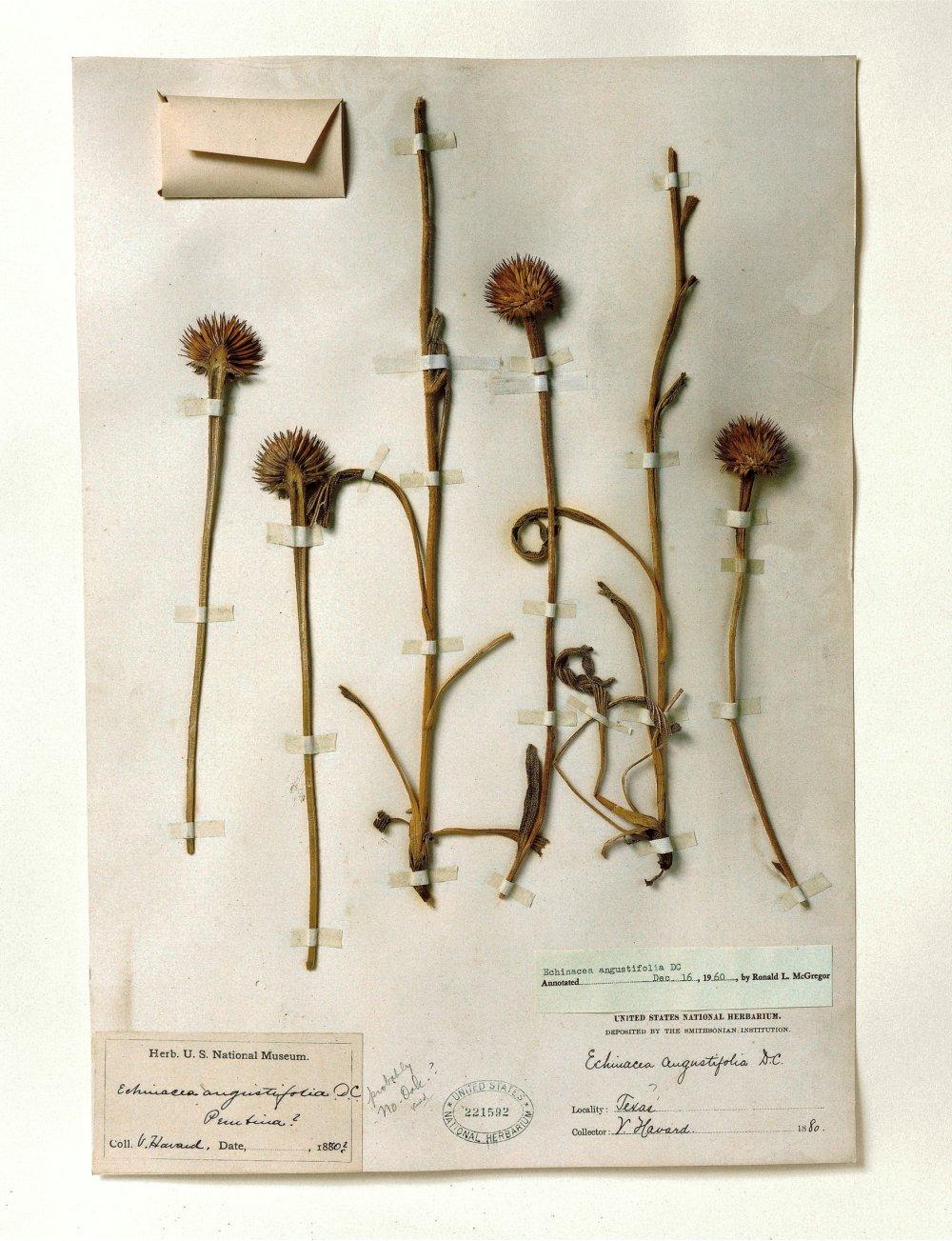 Smithsonian, Echinacea, 1880
