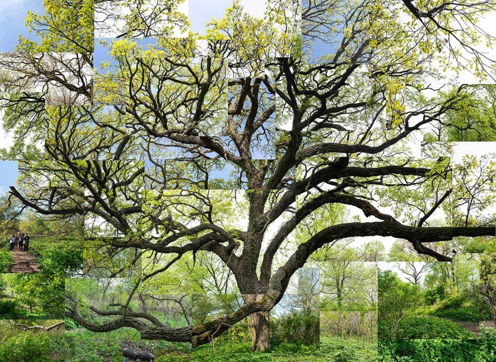 Spring Bur Oak, Chicago, Jackson Park
