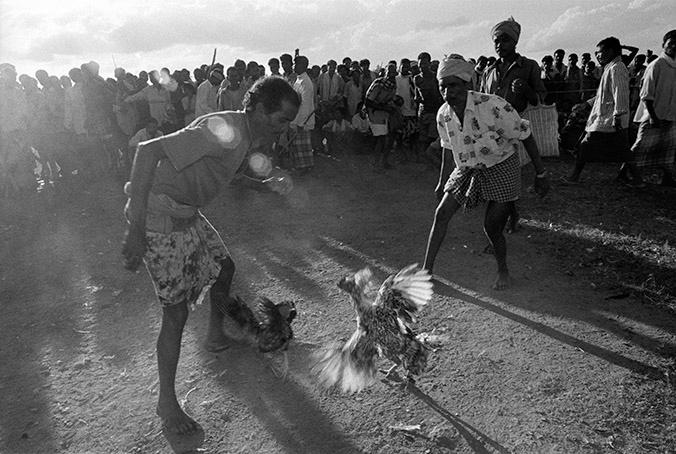Cock fight. Village Bade Donger, Bastar, India